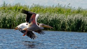 Common pelicans at Danube Delta. A pair of common pelicans (Pelecanus onocrotalus) at the Danube Delta in Romania royalty free stock image