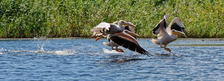Common pelicans of Danube royalty free stock photos