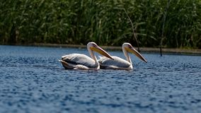 Common pelicans on Danube River. A pair of common pelicans on the Danube River, the Danube Delta, Romania stock images