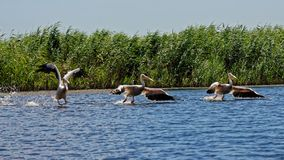 Common pelicans perching on Danube surface. Common pelicans perching on the Danube surface at the Danube Delta, Romania royalty free stock photos