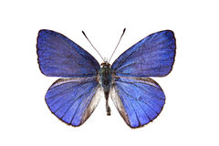 Common Pencil Blue Butterfly Stock Photo