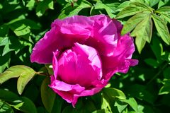 Common peony, or garden peony, is a species of flowering plant in the family Paeoniaceae. royalty free stock photos