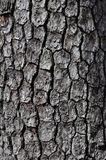 Common Persimmon Bark Stock Photography