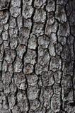 Common Persimmon Bark. Vertical image of common persimmon (Diospyros virginiana) tree bark Stock Photography