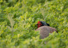 Common pheasant Stock Images