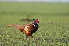 Common pheasant Royalty Free Stock Photos