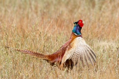 A common Pheasant Royalty Free Stock Photo