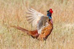 A common Pheasant Royalty Free Stock Photos