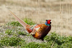 A common Pheasant Stock Image