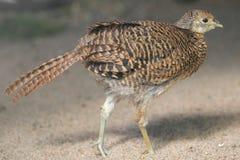 Common pheasant stock image