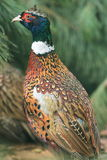Common pheasant Royalty Free Stock Photos