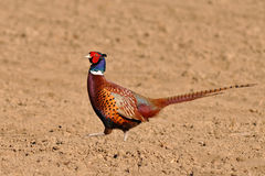 Common pheasant Royalty Free Stock Photography