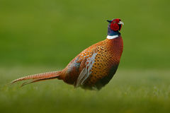 Common Pheasant, bird with long tail on the green grass meadow, animal in the nature habitat, Czech Republic. Europe Royalty Free Stock Image