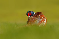 Common Pheasant, bird with long tail on the green grass meadow, animal in the nature habitat, France Royalty Free Stock Photography