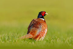 Common Pheasant, bird with long tail on the green grass meadow, animal in the nature habitat, Germany Stock Image