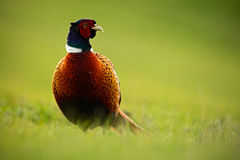 Common Pheasant, bird with long tail on the green grass meadow, animal in the nature habitat, wildlife scene from Germany with mor Royalty Free Stock Image