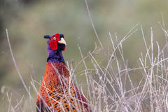 Common Pheasant among Bushes Royalty Free Stock Image