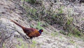 Common Pheasant among Bushes Stock Photography