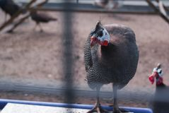 Common pheasant in a cage in the zoo. Sumer day in zoo royalty free stock photo