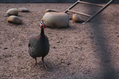 Common pheasant in a cage in the zoo. Sumer day in zoo stock images