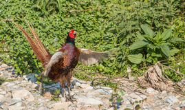 Common Pheasant calling Royalty Free Stock Photography
