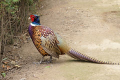 Common Pheasant Royalty Free Stock Images