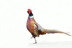 Common Pheasant Stock Photography