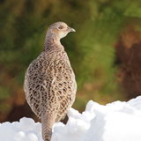 Common Pheasant female Royalty Free Stock Images