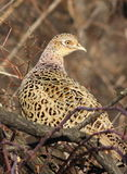 Common Pheasant female on branch Royalty Free Stock Images