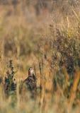 Common Pheasant Royalty Free Stock Photography