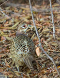 Common Pheasant. A female Common Pheasant (Phasianus colchicus) in perfect camouflage with the forest litter Royalty Free Stock Photos
