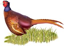 Common Pheasant Royalty Free Stock Image