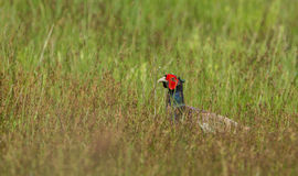 Common Pheasant in the grass Royalty Free Stock Images