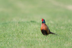 Common pheasant Stock Images