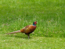 Common Pheasant male Royalty Free Stock Images