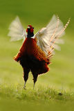 Common Pheasant on the meadow with open beak and the steam Stock Images