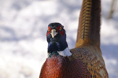 Common pheasant, phasianus colchicus Royalty Free Stock Photography