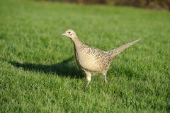 Common pheasant, phasianus colchicus. Female running cross the field Royalty Free Stock Photos