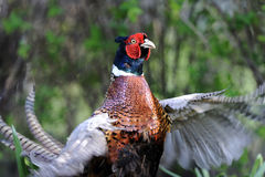 Common pheasant, phasianus colchicus. Flapping wings Royalty Free Stock Photo