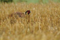 Common Pheasant (Phasianus Colchicus) royalty free stock photo