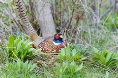 Common pheasant, phasianus colchicus Royalty Free Stock Image