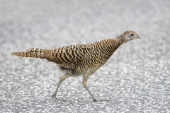 Common Pheasant (Phasianus colchicus) Stock Photo