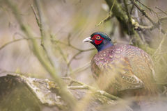 Common pheasant (Phasianus colchicus) hiding in a forest Stock Image