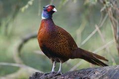 Common pheasant, Phasianus colchicus stock photos