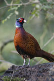 Common pheasant, Phasianus colchicus Royalty Free Stock Photos