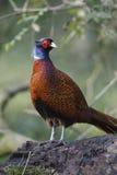 Common pheasant, Phasianus colchicus royalty free stock photos