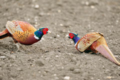 Common Pheasant (Phasianus colchicus). The Common Pheasant (Phasianus colchicus), is native to Asia and has been widely introduced elsewhere as a game bird Stock Photography