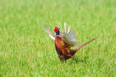 Common Pheasant (Phasianus colchicus). The Common Pheasant (Phasianus colchicus), is native to Asia and has been widely introduced elsewhere as a game bird Royalty Free Stock Photo