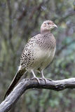 Common pheasant, Phasianus colchicus. Single female on branch, Warwickshire, October 2014 Stock Images