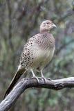Common pheasant, Phasianus colchicus Stock Images